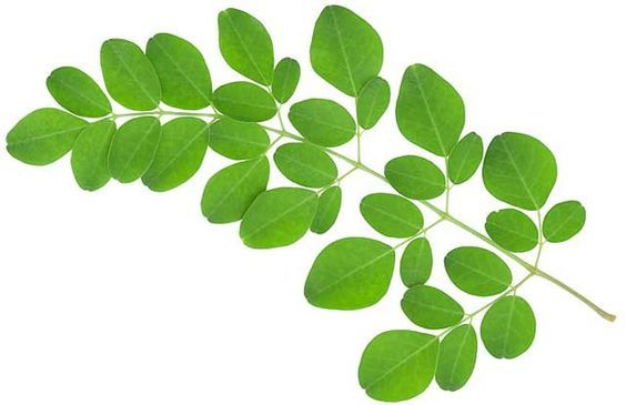 Health Benefits of Moringa Leaves - Talking about Moringa leaves, probably you thought about black magic because moringa leaf is often used to repe… | Pinteres… (18124)